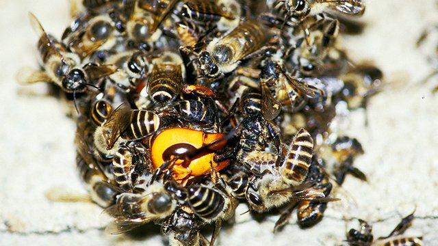 beehornets
