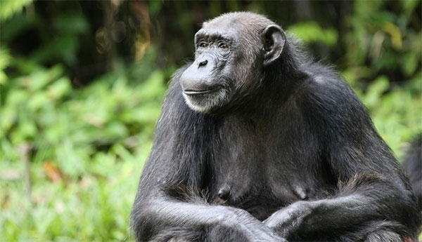 chimpanzee_female_600